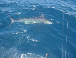 Blue Marlin - 19Mar09